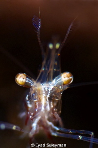 Shrimp Portrait
